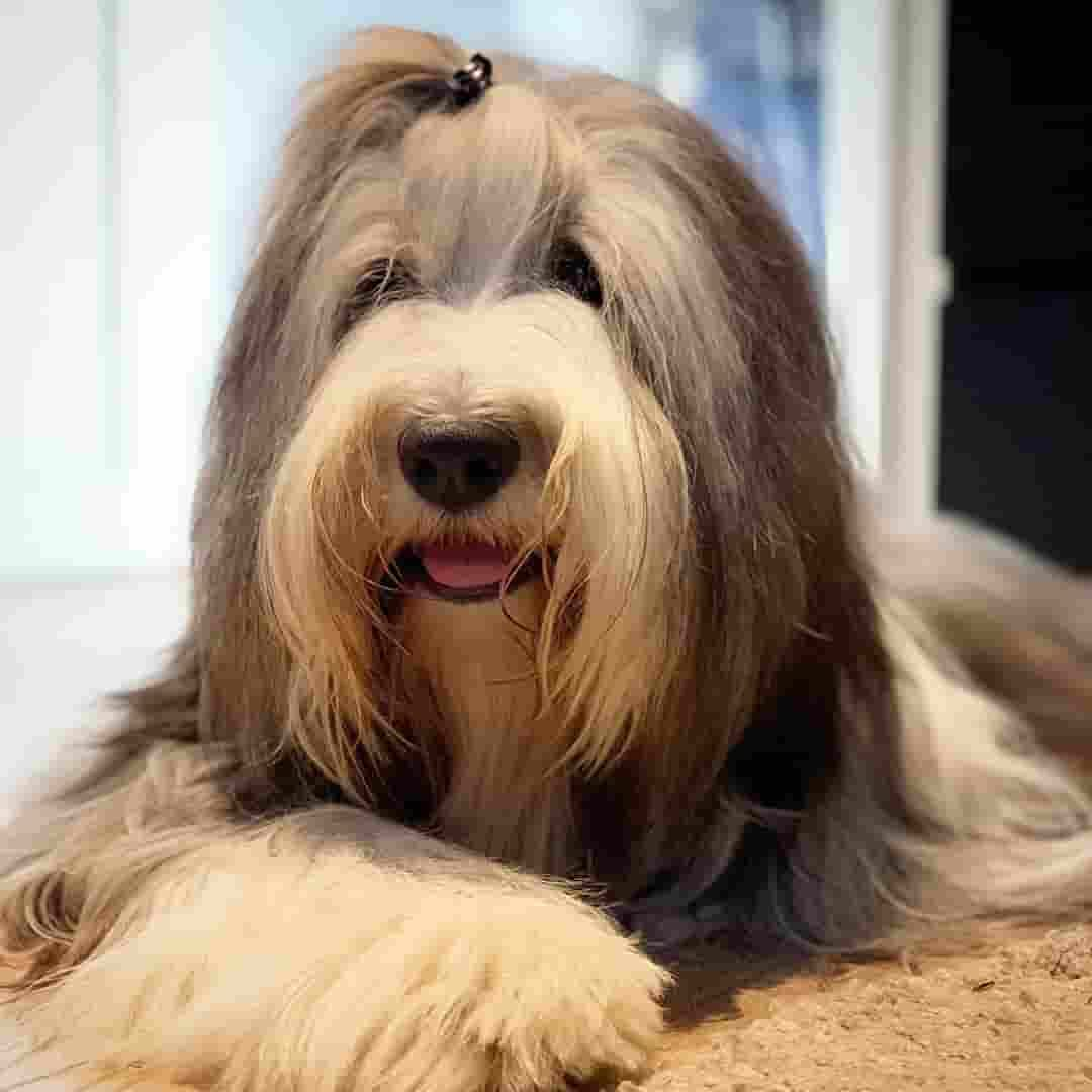 13 Big Fluffy Dog Breeds That Are