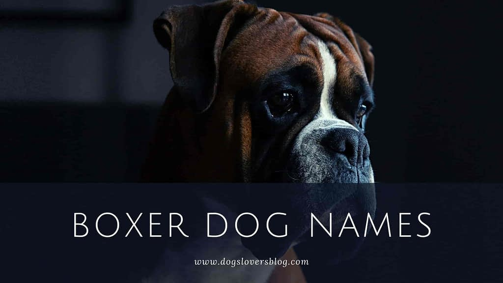600 Best Boxer Dog Names The Ultimate List